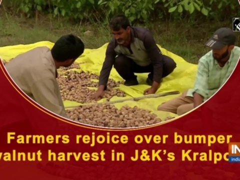 Farmers rejoice over bumper walnut harvest in J-K's Kralpora