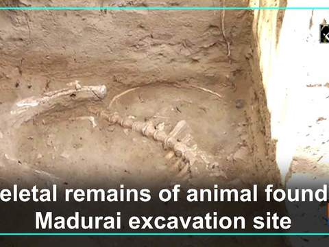 Skeletal remains of animal found at Madurai excavation site