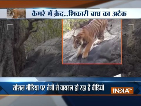 Video of a tiger hunting in forest goes viral on social media
