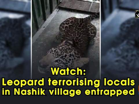 Watch: Leopard terrorising locals in Nashik village entrapped