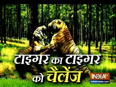 आपस में क्यों लड़ रहे हैं ये जंगली बाघ? देखिए वीडियो